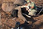 Bagheera - Mozambique Completes Elephant Collaring Effort